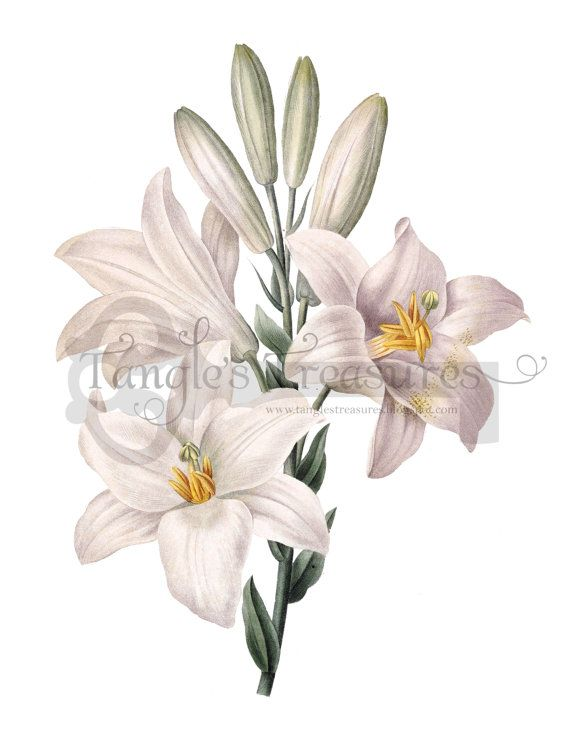 Easter row lilies clipart vector stock 78 Best images about Watercolor Botanicals on Pinterest ... vector stock
