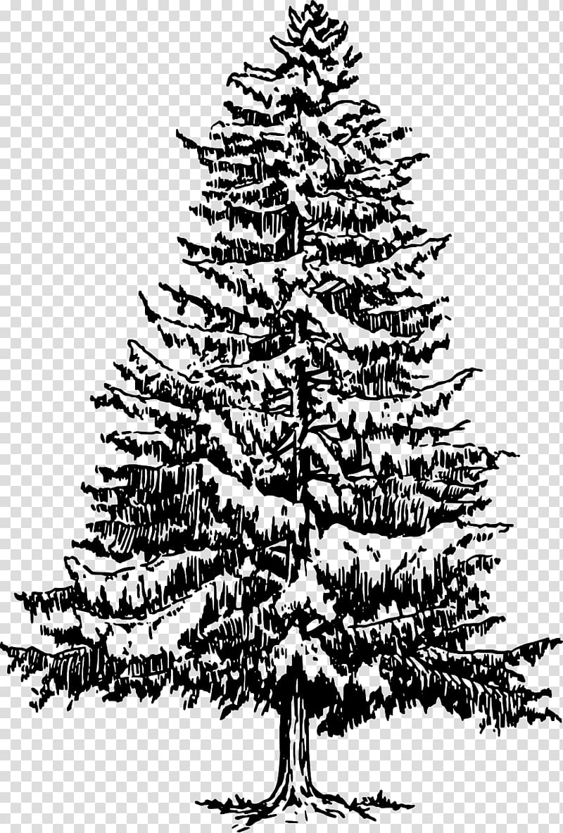 Eastern white pine clipart clip art royalty free library Eastern white pine Tree Drawing , pine tree transparent background ... clip art royalty free library
