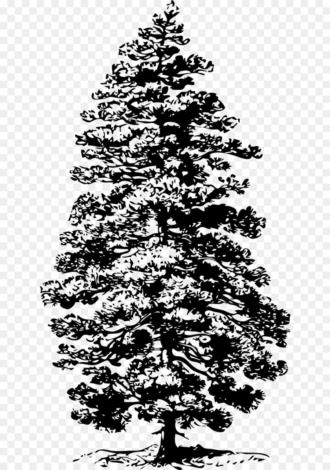 Eastern white pine clipart picture transparent download Png Eastern White Pine Tree Fir Clip Art Coniferous Ve   SOIDERGI picture transparent download