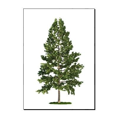 Eastern white pine clipart clipart royalty free Eastern white pine (Pinus strobus)   tattoos.   Pine tree tattoo ... clipart royalty free