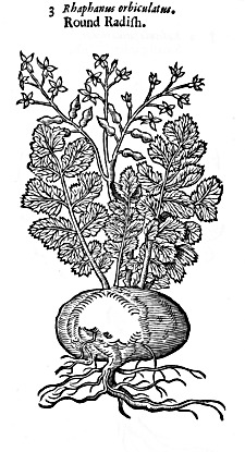 Eaten radish in ground clipart black and white freeuse download Gerard\'s Herbal - CHAP. 5. Of Radish. freeuse download