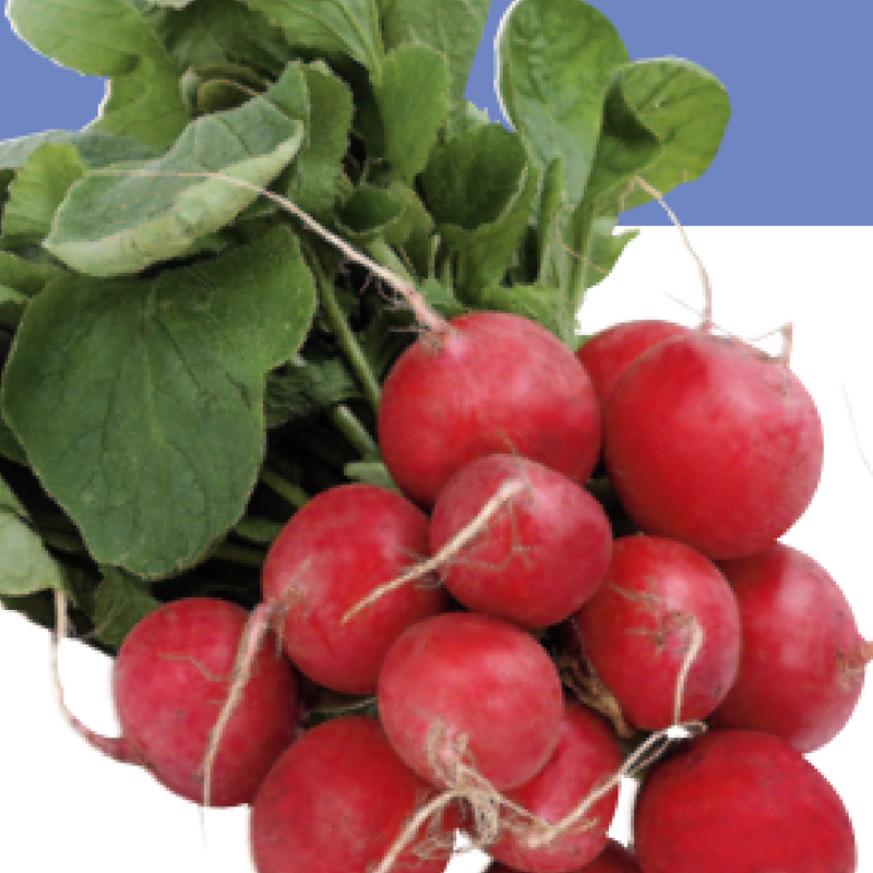 Eaten radish in ground clipart black and white picture library stock Growing Radishes - how to grow Radishes - in Texas picture library stock