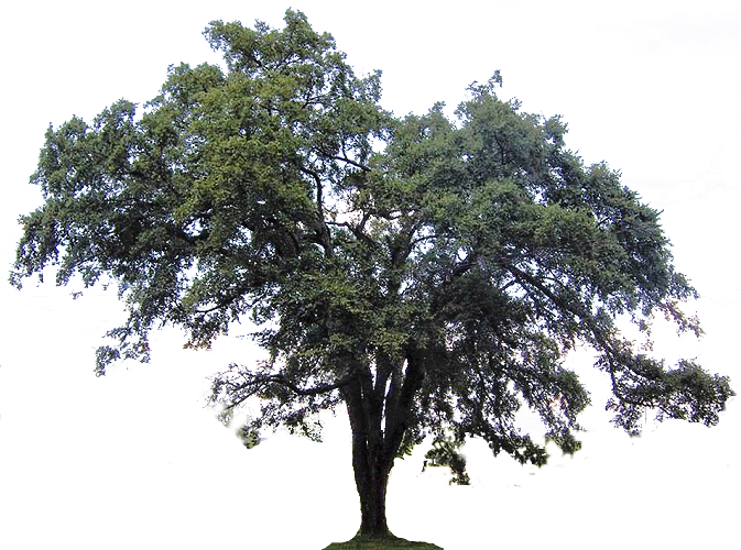 Elm tree clipart clipart free stock img.clipartfest.com b469bb0e7770a5efe8ae1fb80099cb29_follow-us-elm ... clipart free stock
