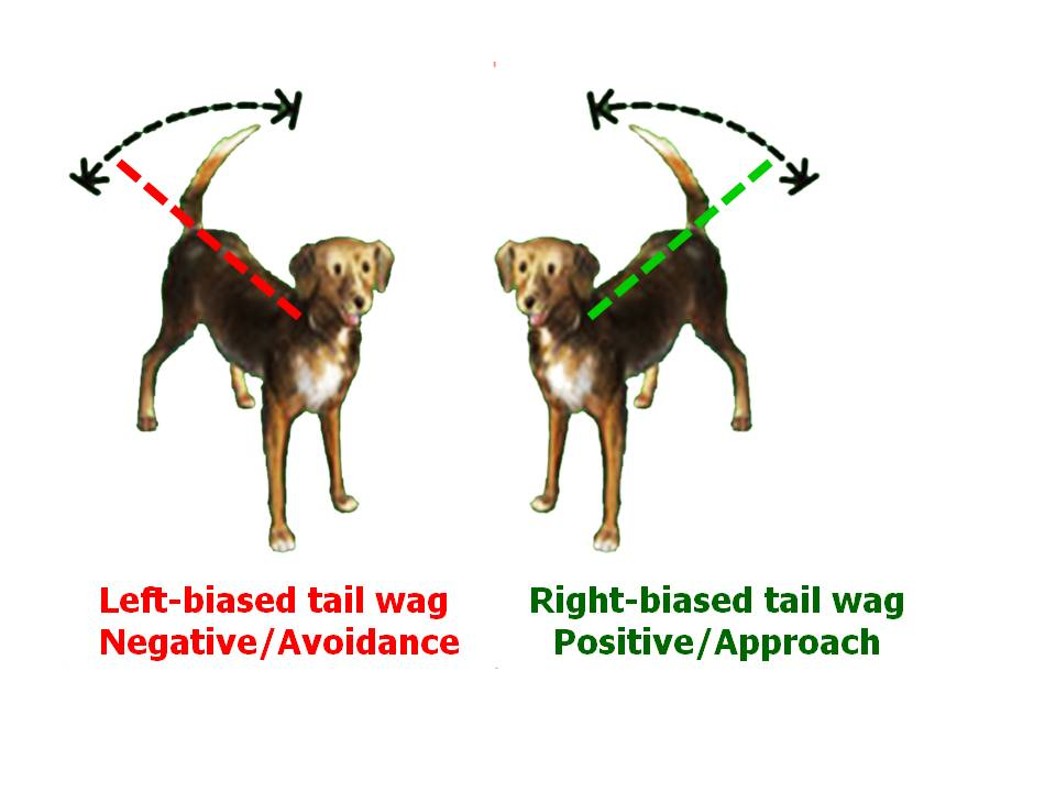 End view of wagging dog tail clipart png black and white What a Wagging Dog Tail Really Means: New Scientific Data ... png black and white