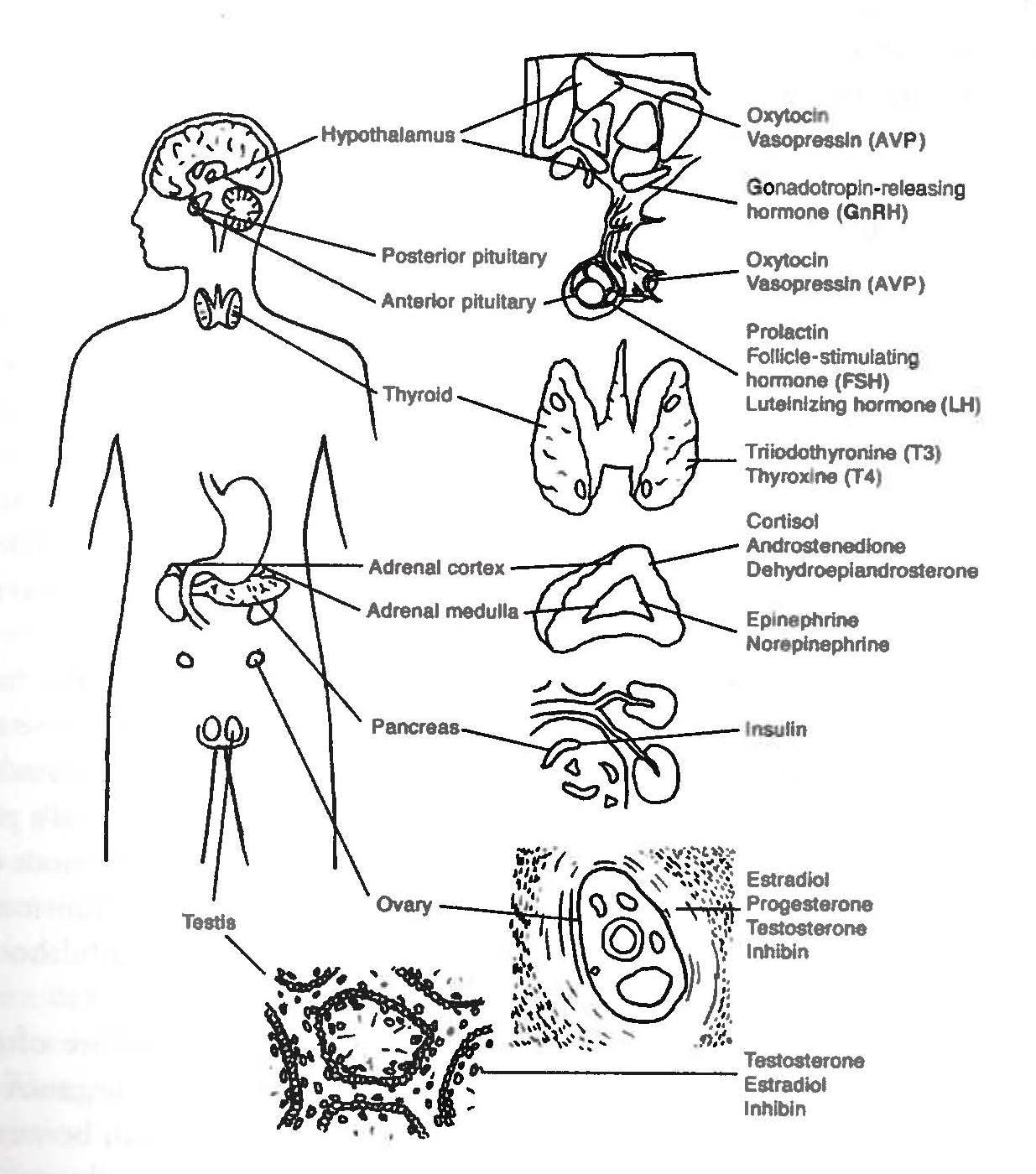 Endocrine system clipart banner free library Endocrine System Cliparts 13 - 1235 X 1400 - Making-The-Web.com banner free library