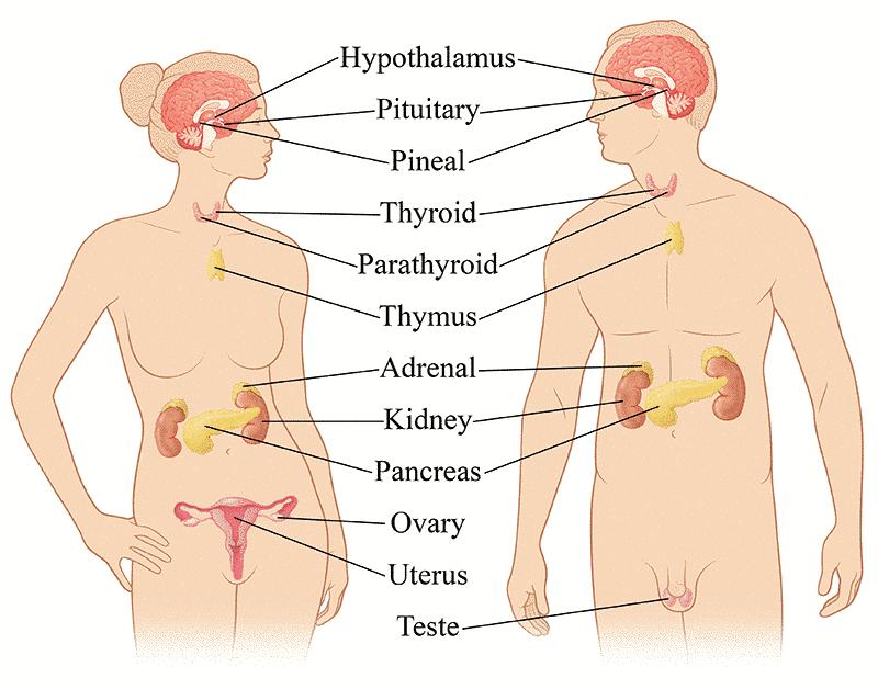 Endocrine system clipart vector transparent endocrine system male female - /medical/anatomy/glands ... vector transparent