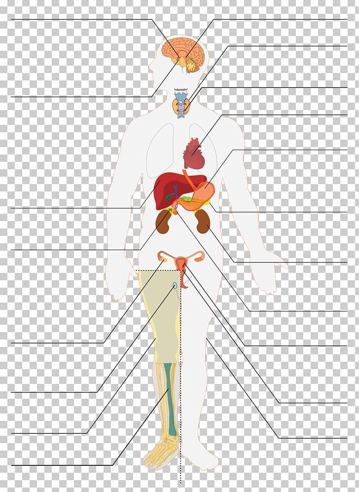 Endocrine system clipart jpg Endocrine System Organ Endocrine Gland Anatomy Human Body PNG ... jpg