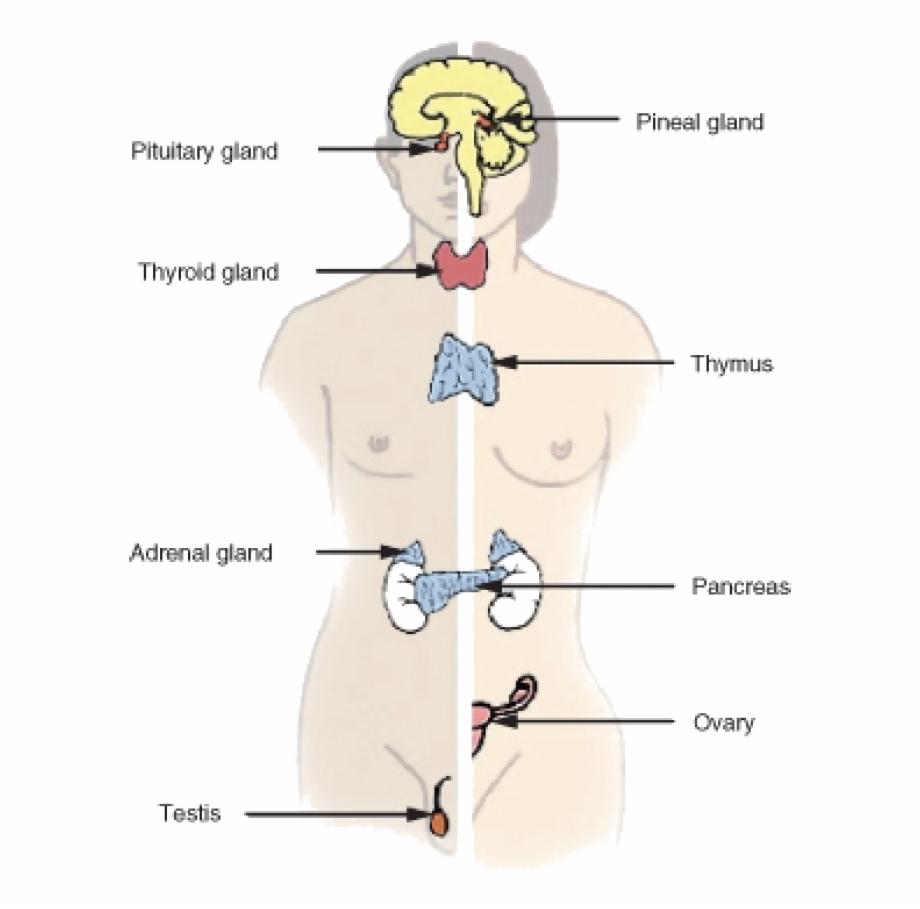 Endocrine system clipart jpg freeuse download Endocrine System - Endocrine Glands Free PNG Images & Clipart ... jpg freeuse download