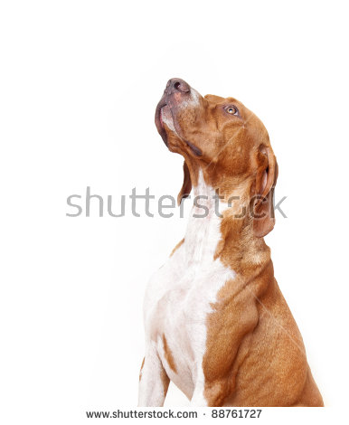 English pointer clipart graphic library English Pointer Dog Stock Photos, Royalty-Free Images & Vectors ... graphic library