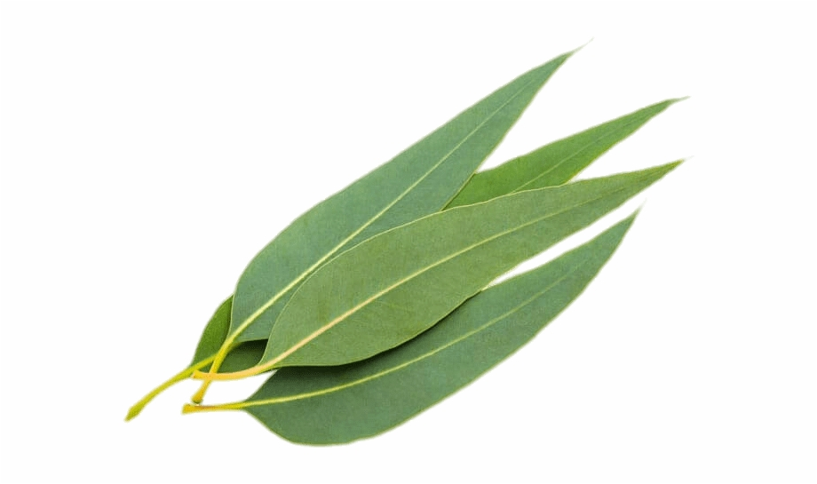Eucalyptus leaves clipart clip royalty free stock Eucalyptus Leaves - Leave Eucalyptus, Transparent Png Download For ... clip royalty free stock