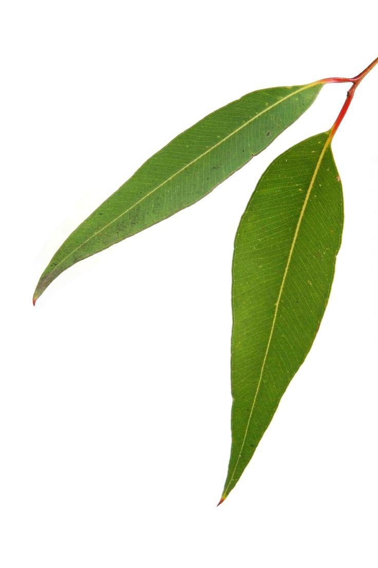 Eucalyptus leaves clipart image transparent stock Eucalyptus Leaf Clipart | Free download best Eucalyptus Leaf Clipart ... image transparent stock