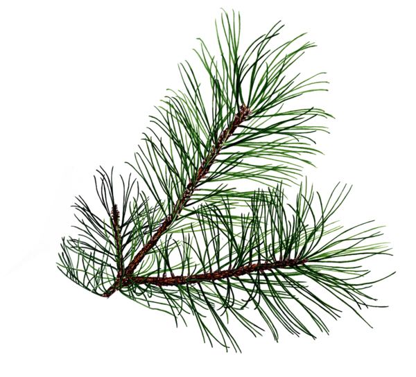 Evergeen branches clipart png transparent background vector freeuse download Christmas Pine Clipart - Clipart Kid vector freeuse download