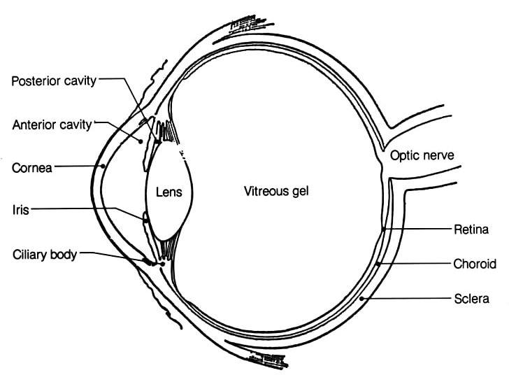 Eyes anatomy clipart svg royalty free library Human Eye Anatomy Diagram Human Body PNG, Clipart, Anatomy, Angle ... svg royalty free library