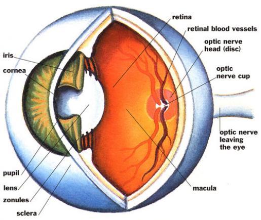 Eyes anatomy clipart image freeuse Free Blank Eye Diagram, Download Free Clip Art, Free Clip Art on ... image freeuse