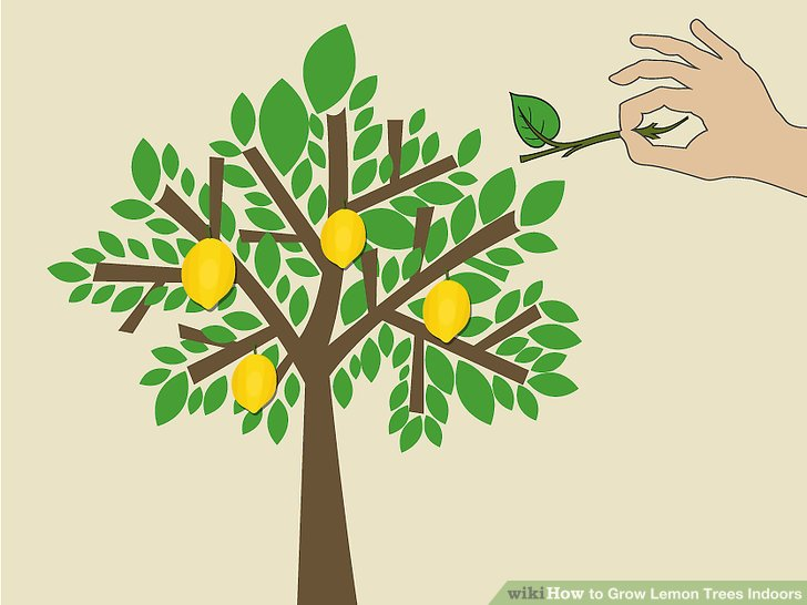 Tree with roots fruit and leaves and falling leaves clipart png stock How to Grow Lemon Trees Indoors (with Pictures) - wikiHow png stock