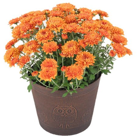 Fall mums clipart clip art royalty free 3qt Mum Potted Owl Various Colors - Walmart.com clip art royalty free