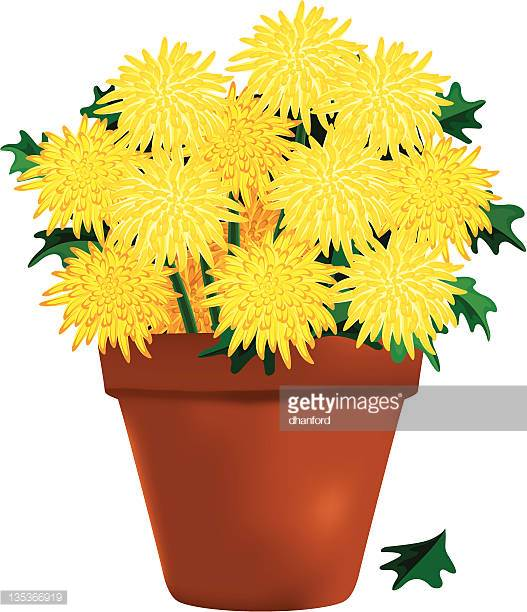 Fall mums clipart transparent download Yellow Chrysanthemums In A Clay Pot - 612*527 - Free Clipart ... transparent download