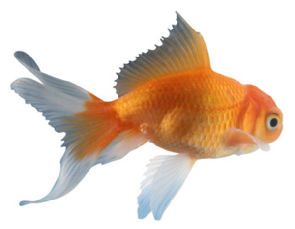 Fancy goldfish clipart clipart free stock Fancy goldfish clipart - ClipartFest clipart free stock