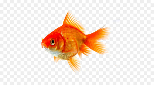 Feeder fish clipart library Goldfish Koi Siamese fighting fish Clip art - fish - Nohat library