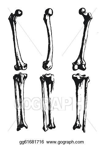 Femur clipart vector library stock Vector Clipart - Hand drawn fibula and femur. Vector Illustration ... vector library stock