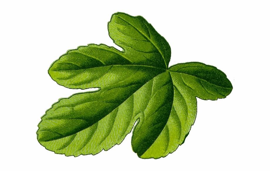Fig leaf clipart free picture black and white Fig Leaf Illustration - Fig Leaf Transparent Free PNG Images ... picture black and white