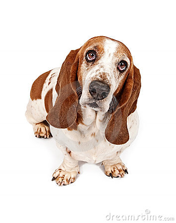 Finnish hound clipart clipart picture royalty free Finnish hound clipart clipart - ClipartFest picture royalty free