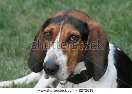 Finnish hound clipart clipart royalty free stock Fox Hound Stock Images, Royalty-Free Images & Vectors   Shutterstock royalty free stock