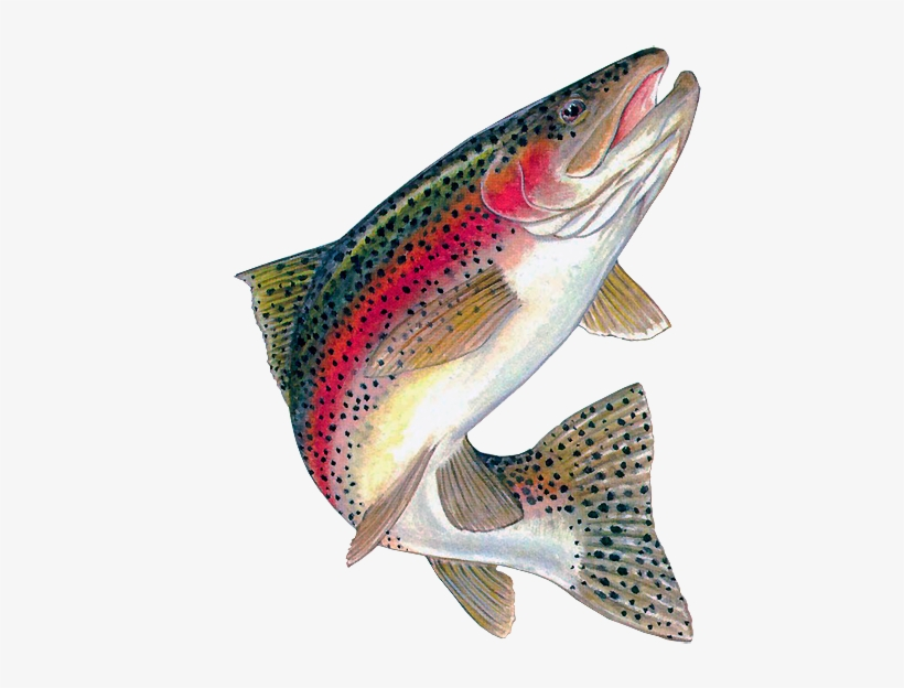 From ecogrow rainbow trout. Fish are friends not food clipart png