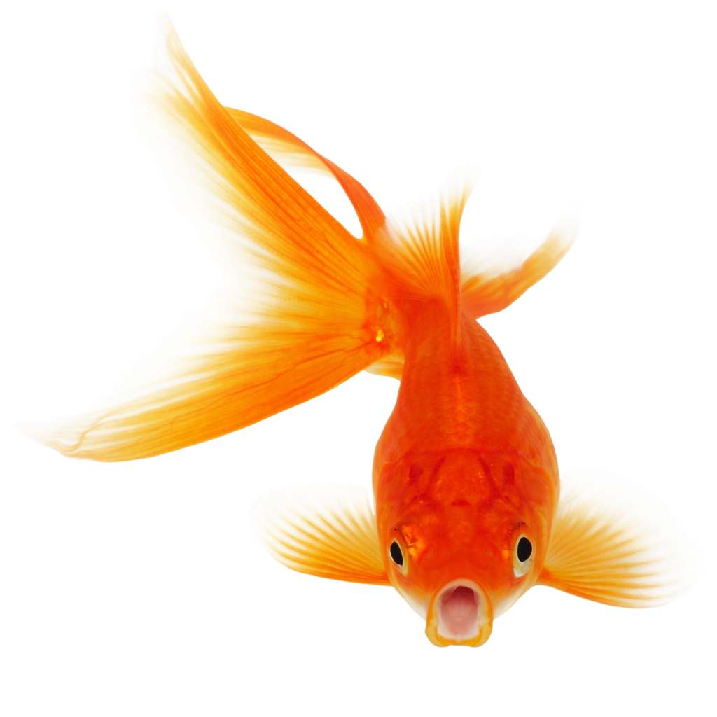 Goldfish with crown clipart graphic freeuse download Real Fish PNG Clipart | PNG Mart graphic freeuse download
