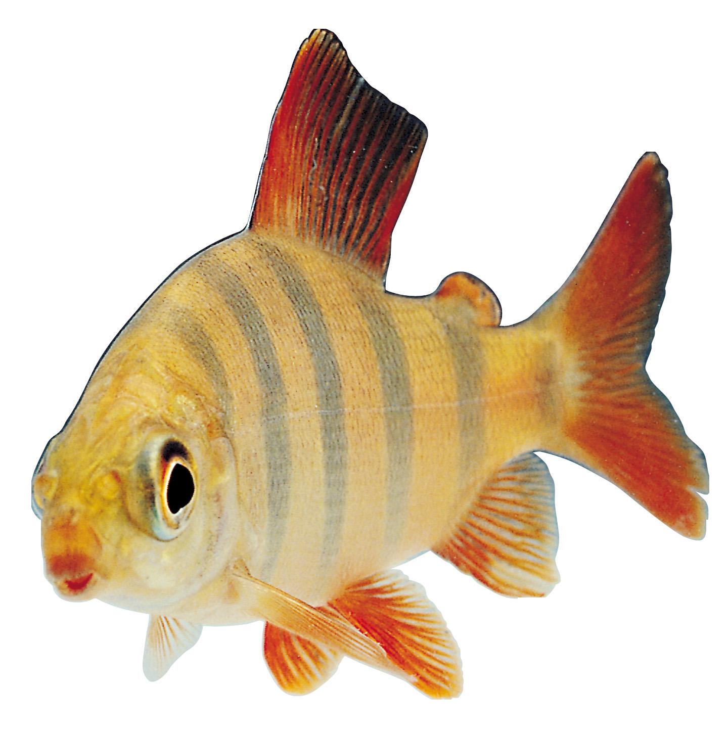 Fish feeder clipart picture download Fish Desktop Wallpaper Clip art - goldfish 1440*1458 transprent Png ... picture download