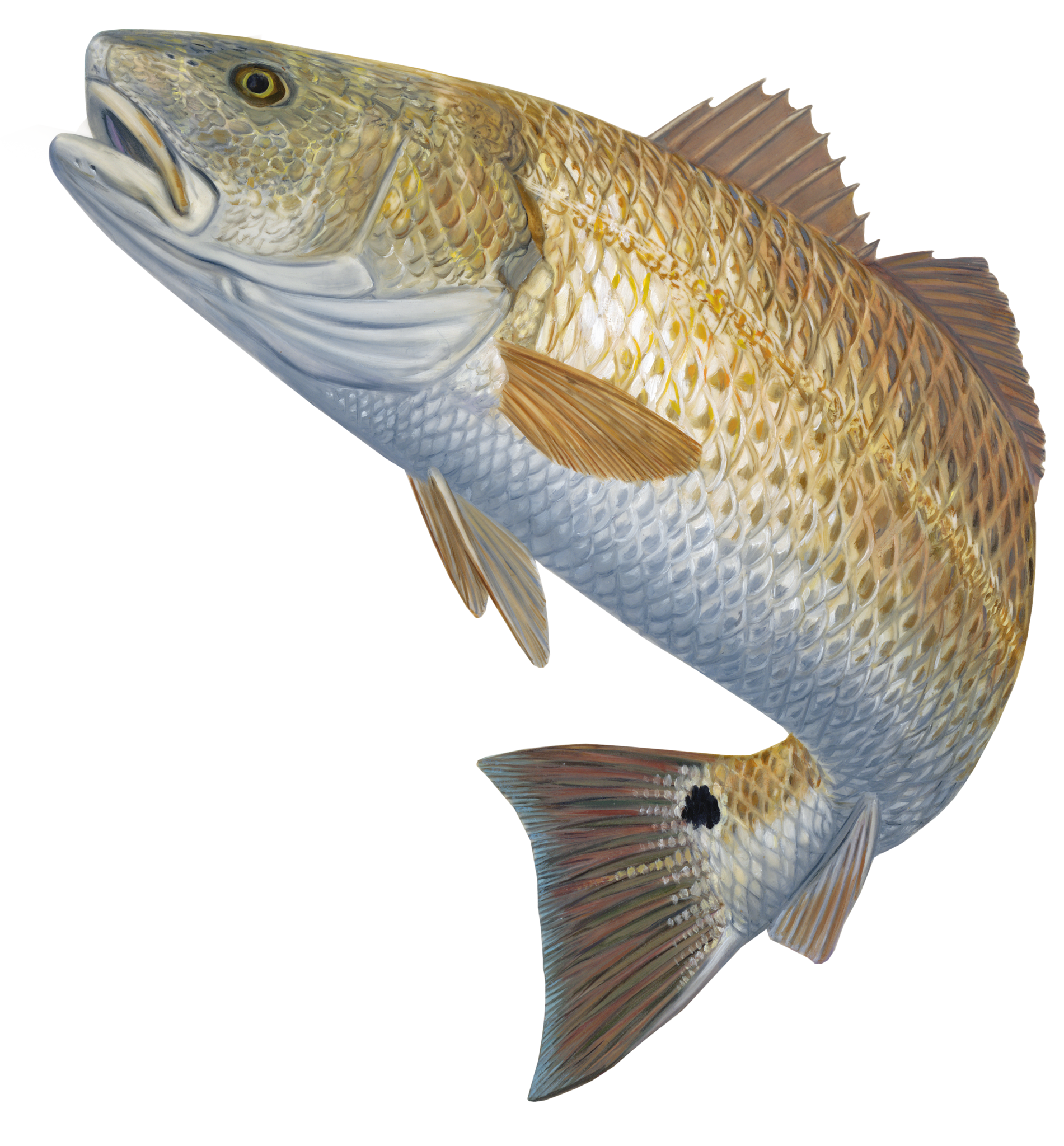 Redfish Decal Red Hot | Pinterest | Fishing apparel, Fishing hats ... svg library library