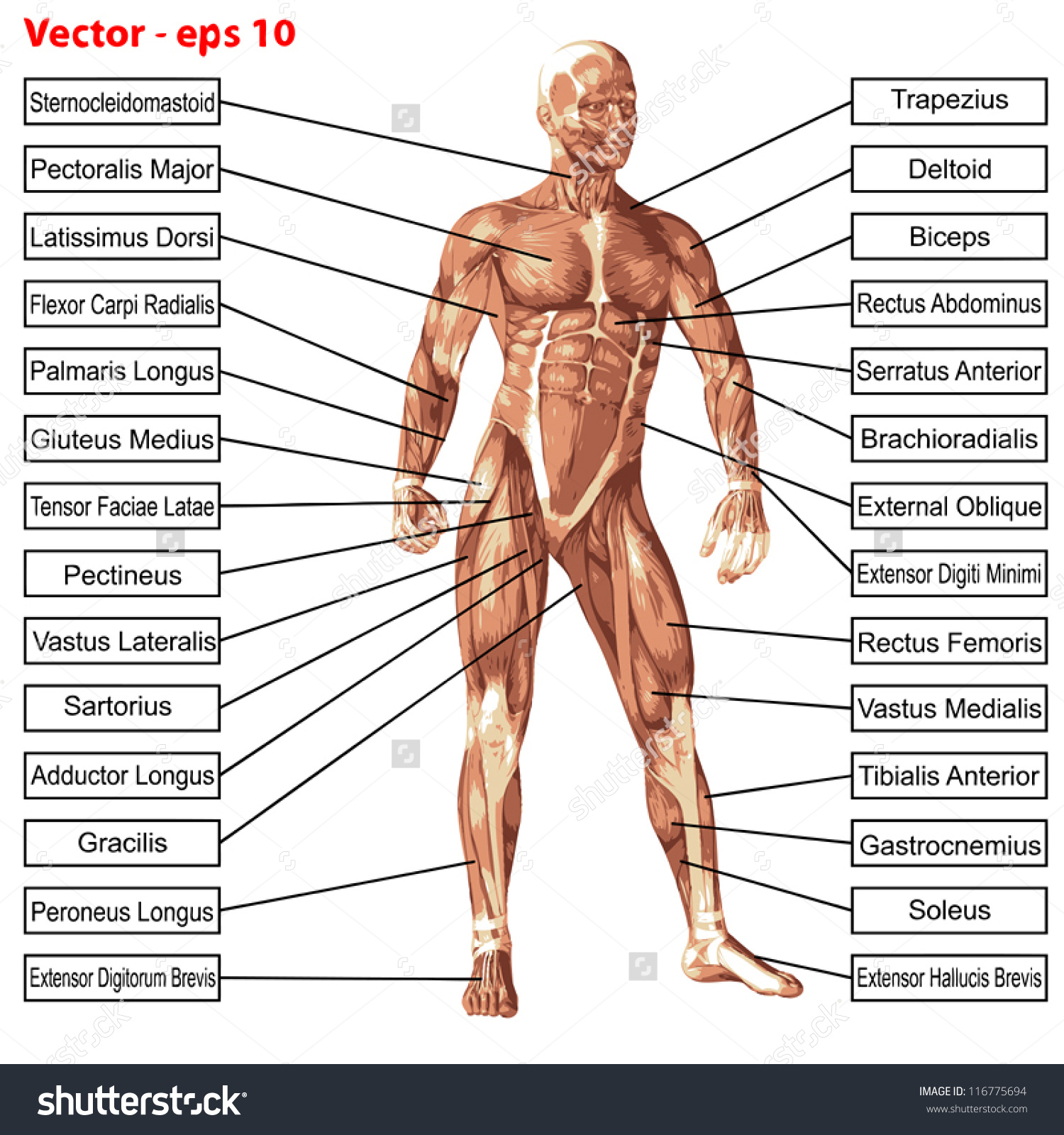 Fit human body clipart graphic freeuse Vector Eps Concept Conceptual 3d Human Stock Vector 116775694 ... graphic freeuse