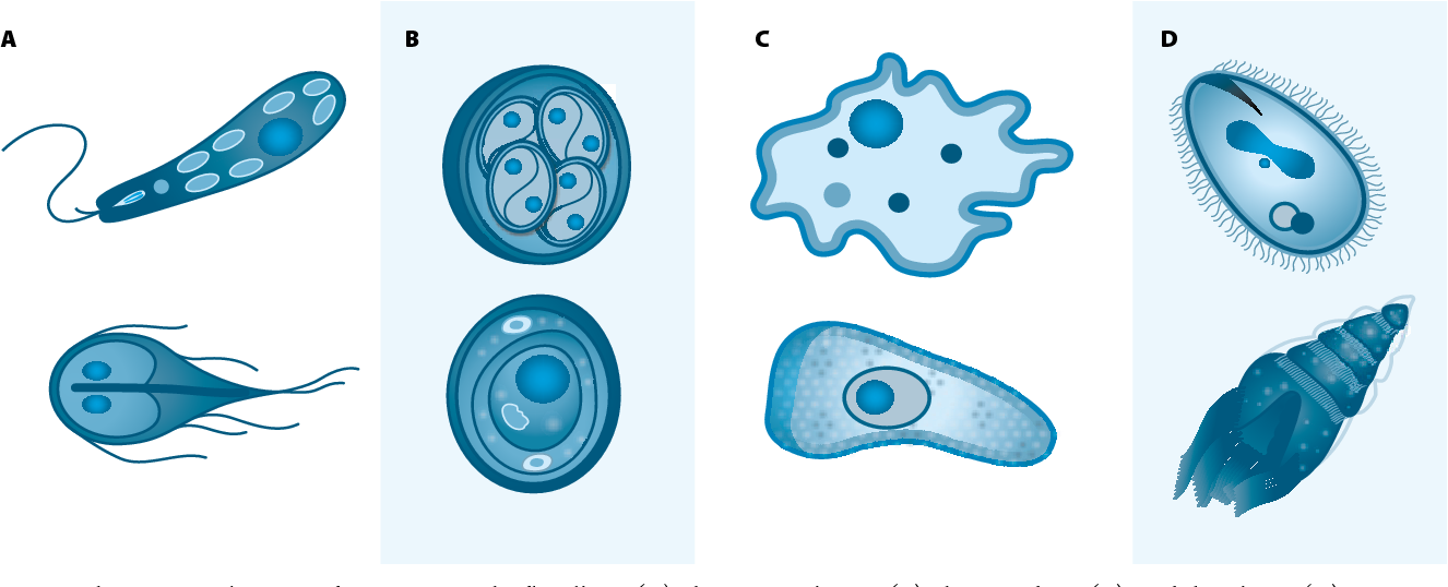 Flagellates clipart clipart royalty free library Figure 1 from Waterborne Pathogens: The Protozoans. - Semantic Scholar clipart royalty free library