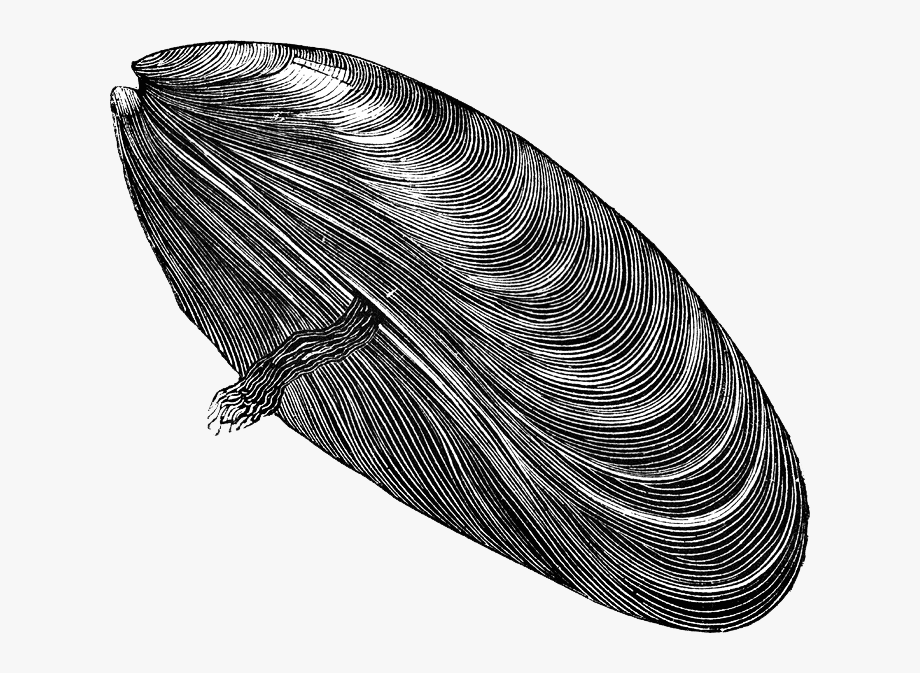 Drawn mussel muscle free. Flex clipart black and white transparent background