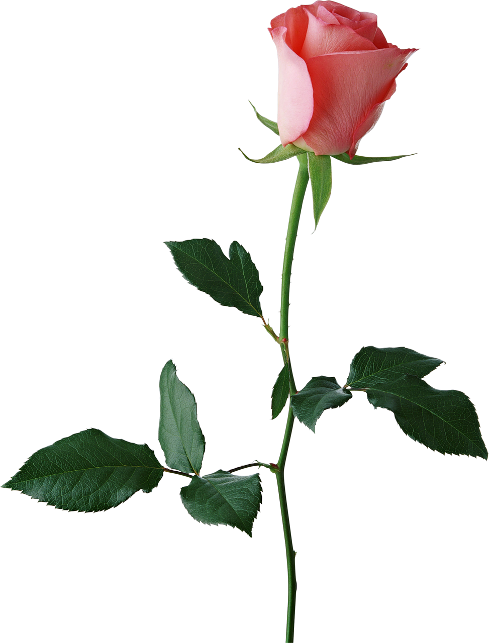 Flower buds clipart. Large rose bud png