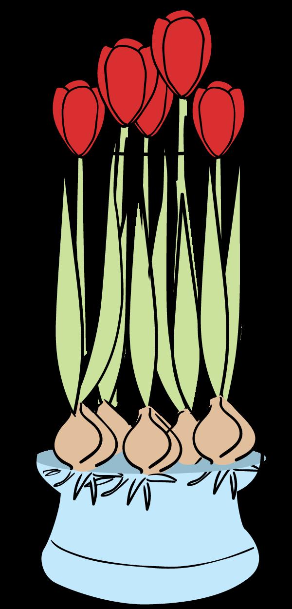 Flower bulb clipart. Tulip faq bloomaker on