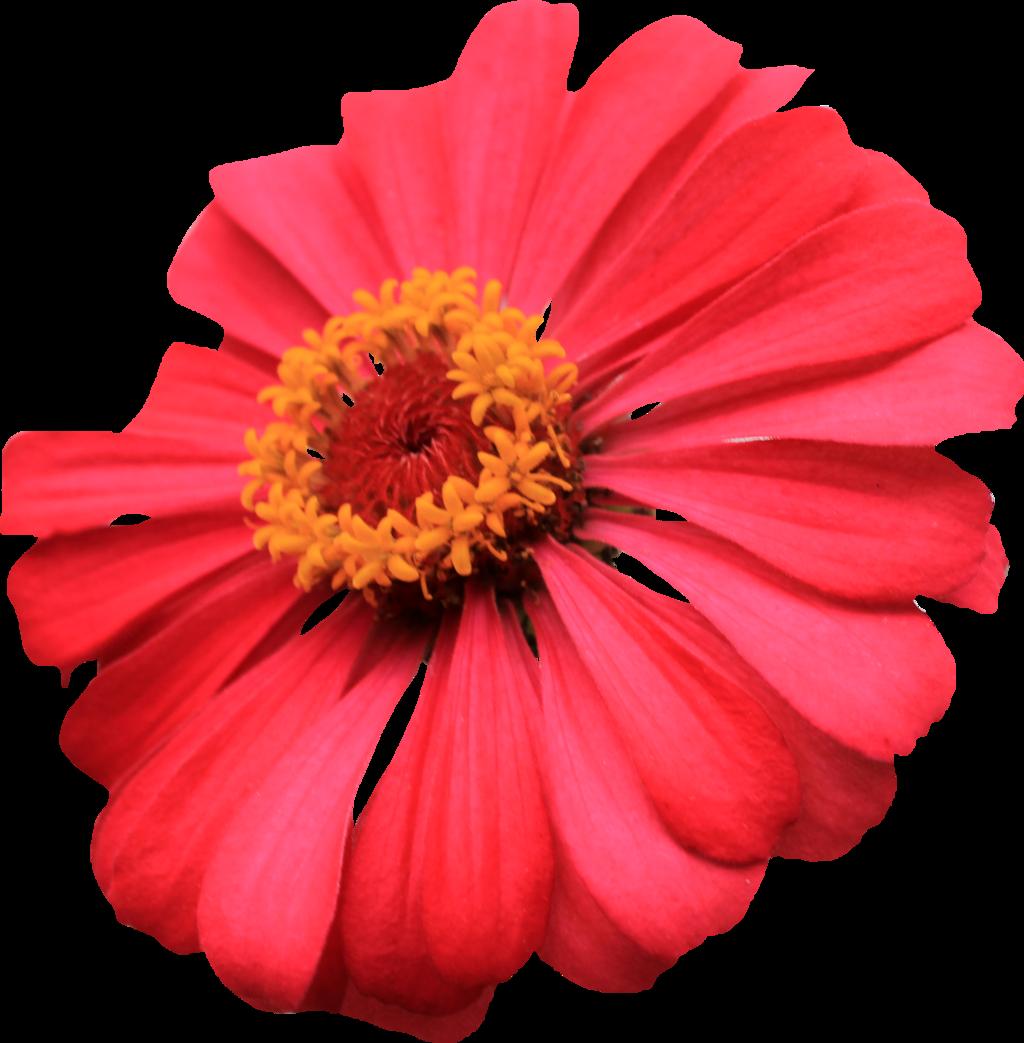 Flower burst clipart picture transparent PNG Single Flower Transparent Single Flower.PNG Images. | PlusPNG picture transparent