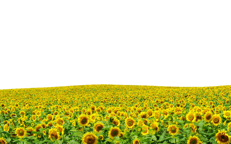 Flower field clipart clipart freeuse Sunflowers PNG file ..Use Anywhere by TheArtist100 on DeviantArt clipart freeuse