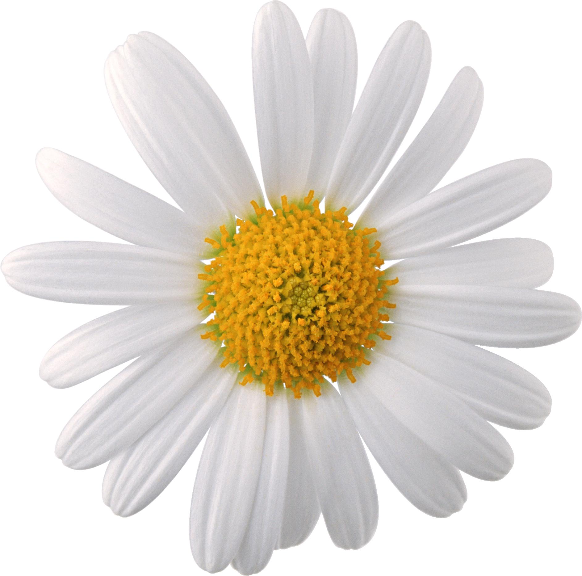 Flower image download jpg stock Camomile PNG image, free picture flower download | Цветы | Pinterest ... jpg stock