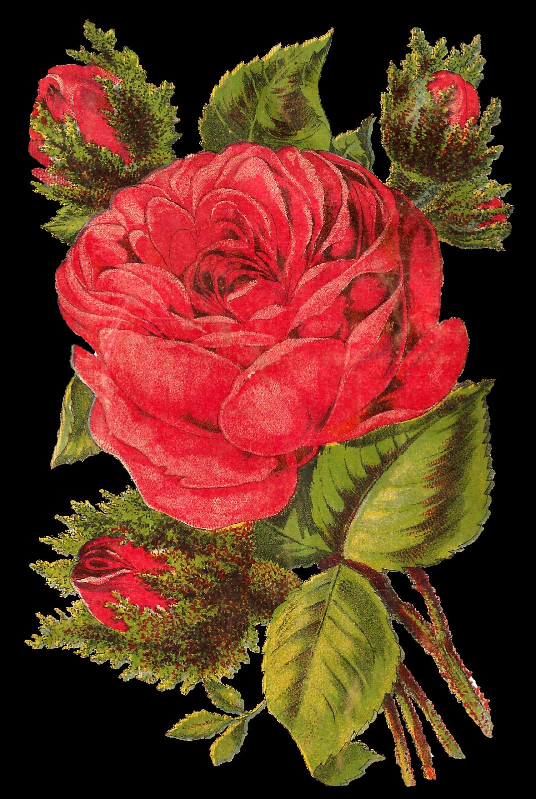 Flower image download png free download Antique Images: Free Red Rose Digital Clip Art Seed Catalog ... png free download