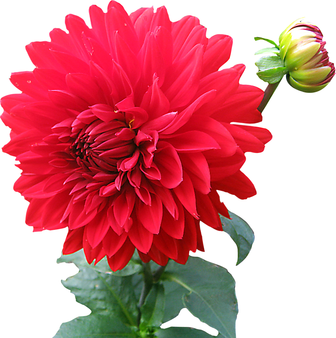 Flower images download image black and white download Dahlia Flower PNG image - PngPix image black and white download