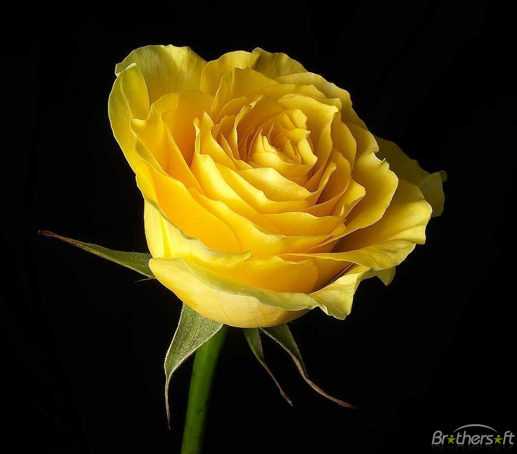 Flower images to download jpg royalty free library Download Free Rose Flower Screensaver, Rose Flower Screensaver 0.2 ... jpg royalty free library