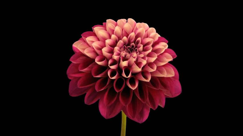 Flower images to download clip art free download Flower Free Video Clips - (108 Free Downloads) clip art free download