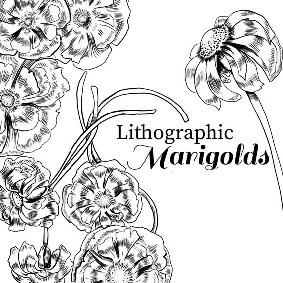 Flower ink clipart clip art transparent Ink drawing marigold, marigold clipart, black and white flower ... clip art transparent