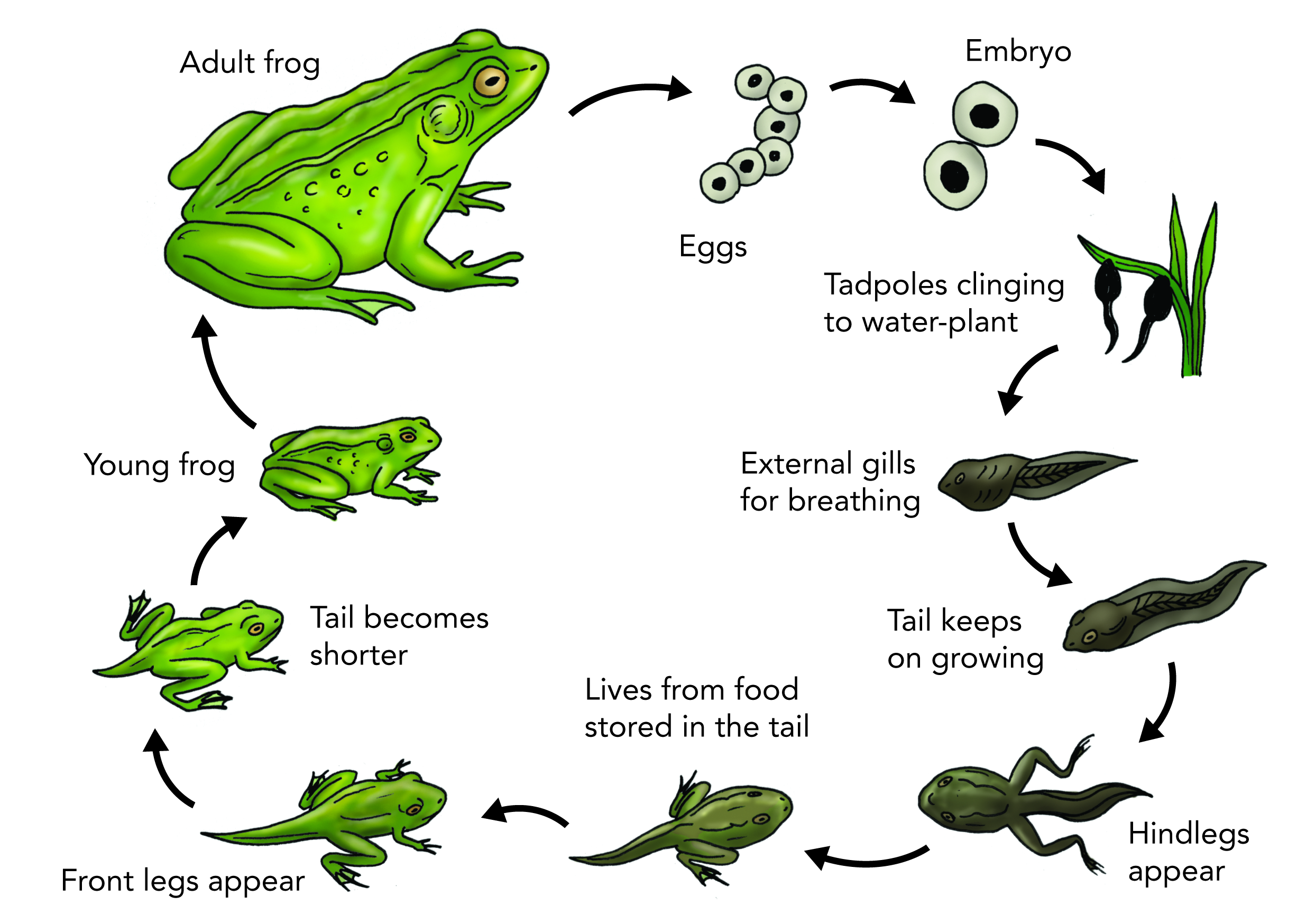 Flower life cycle clipart svg library stock Image result for frog cycle | Science and mini breasts Facts ... svg library stock