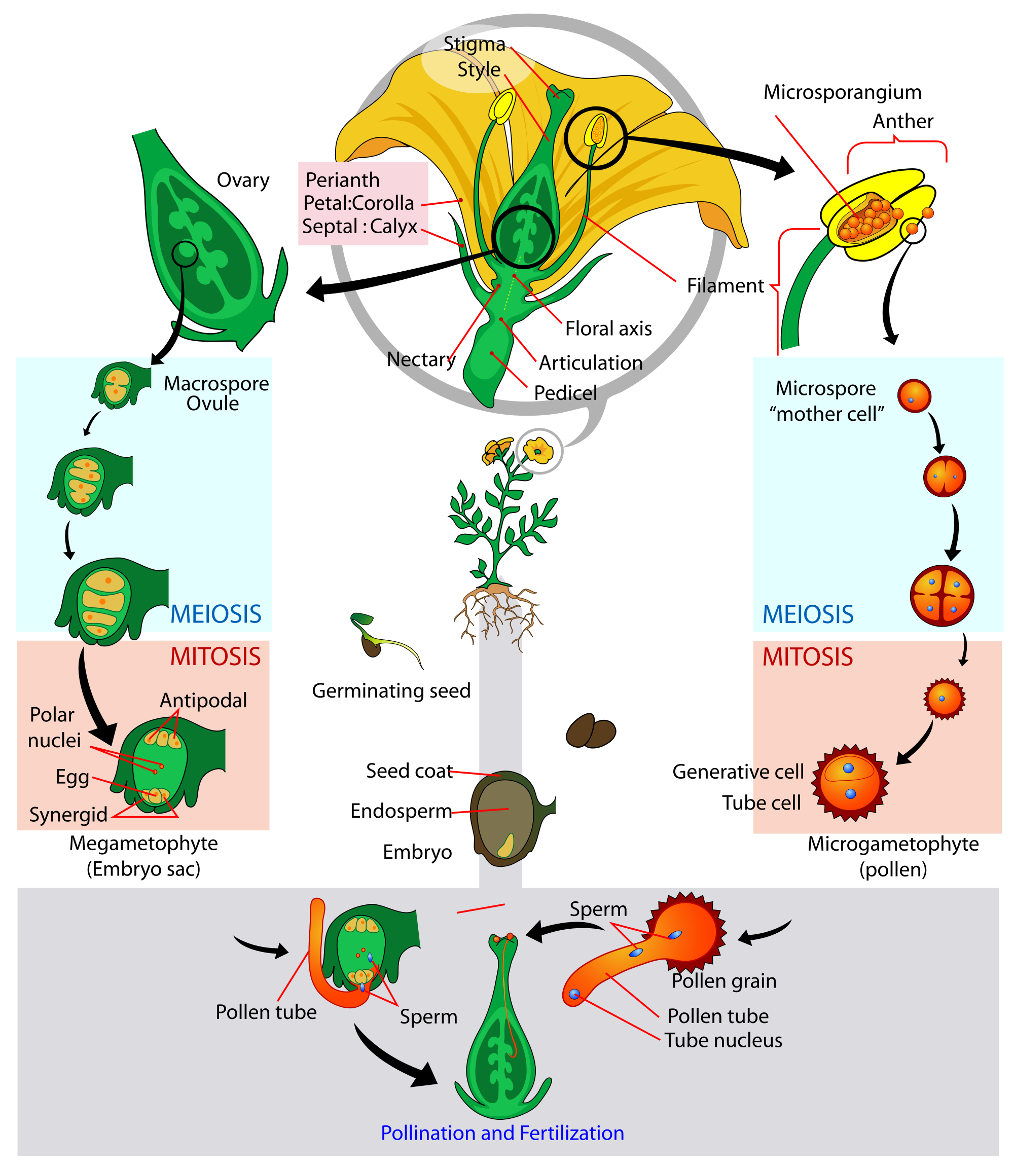 Flower life cycle clipart picture freeuse download Angiosperm [ Flowering Plant] Life- Cycle Diagram | Bio-Sciences ... picture freeuse download
