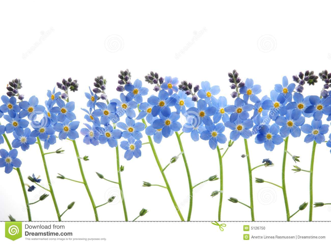 Flower row clipart png library stock Blue Forget Me Not Flower Stock Photo - Image: 5126750 png library stock
