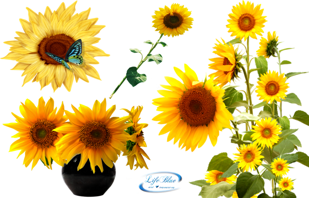 Flower seeds clipart graphic free stock Sunflowers - PNG by lifeblue on DeviantArt graphic free stock