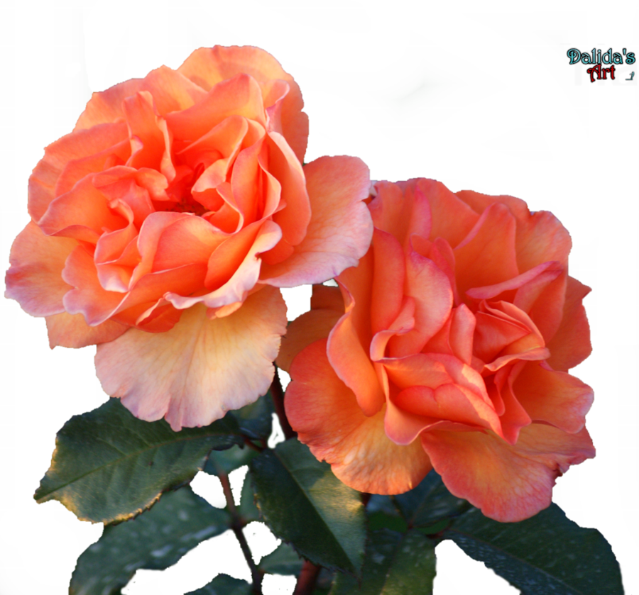 Folower picture transparent Beautiful flower PNG by makiskan on DeviantArt transparent