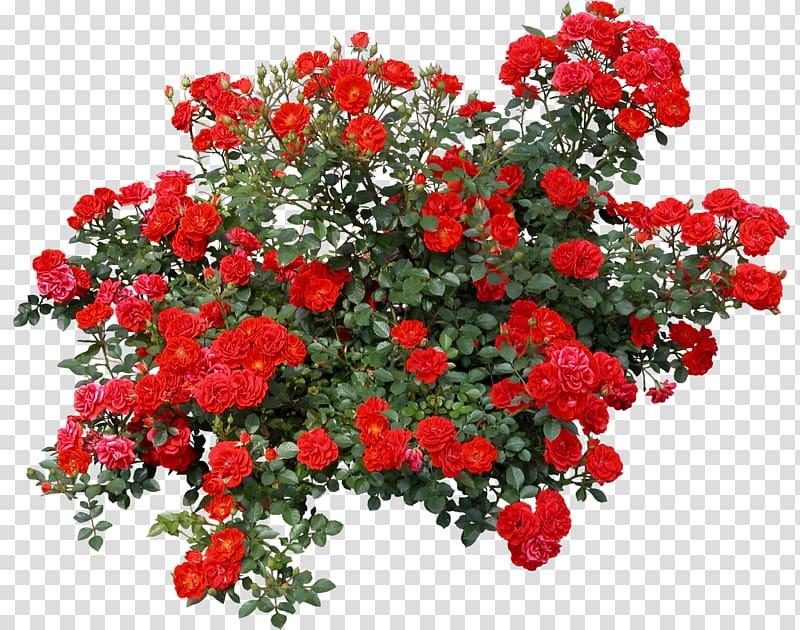 Flowering shrub clipart png transparent stock Rose Shrub Flower , bushes, red roses illustration transparent ... png transparent stock
